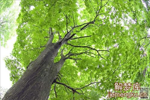 梦见别人把大树被砍倒
