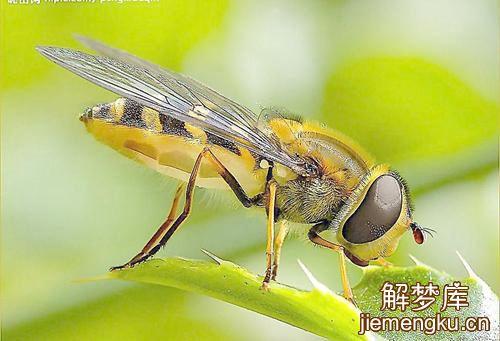 孕妇梦见昆虫