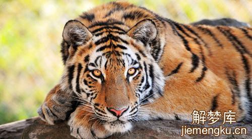 梦见老虎吃狗