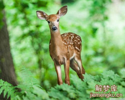 孕妇梦见鹿