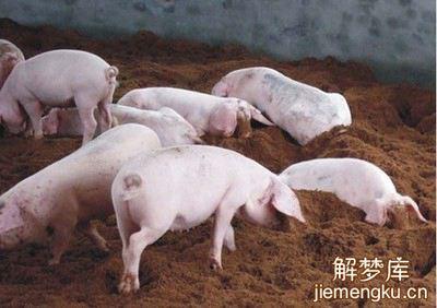 梦见很多猪