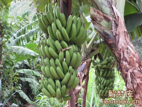 梦见摘香蕉吃