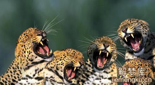 梦见豹子咬我